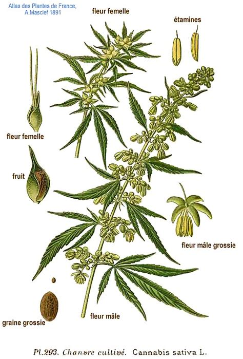 fiore di cannabis canapa cannabis