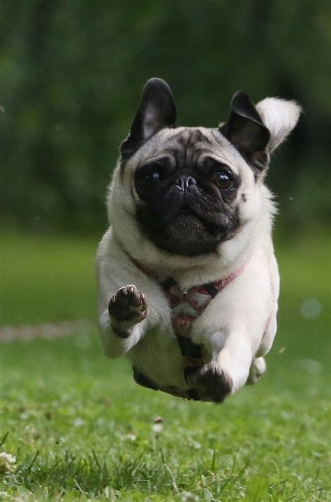 jumping pug 17 best images about pugs on pug yes i can and this is awesome