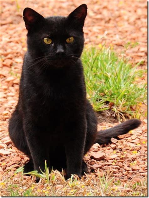 imagenes en negro de gatos imagen gatonegro jpg wiki gatopedia wikia