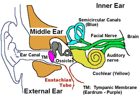 outer ear diagram labeled parts of outer ear piercing archives human anatomy chart
