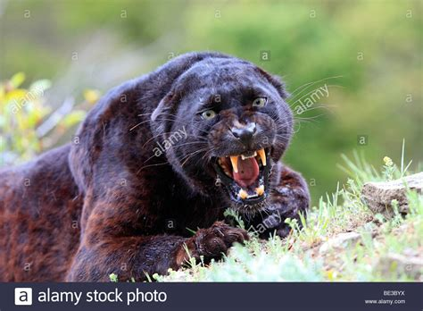 what color is a panther black panther stock photos black panther stock images