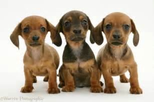 Dachshund Puppies Dachshund Puppies Baby Animals