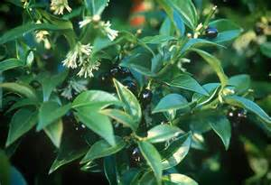 black gold fragrant winter flowering shrubs black gold