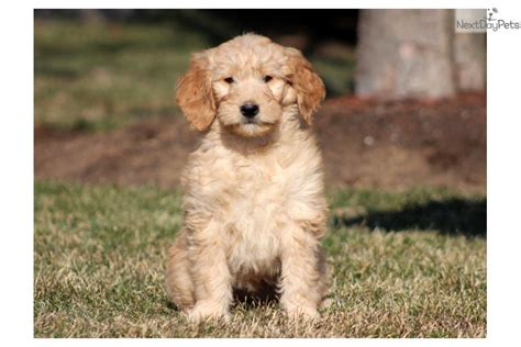 goldendoodle boy names meet ness a goldendoodle puppy for sale for 650