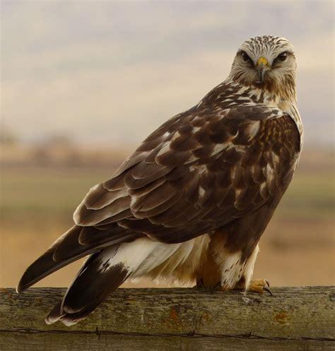 rough legged hawk rough legged hawk hawks of the world pinterest