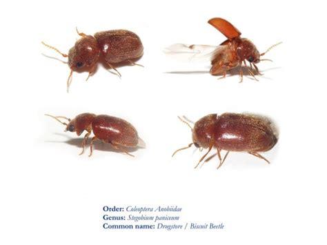 biscuit beetle in bedroom biscuit beetle in bedroom bedroom review design