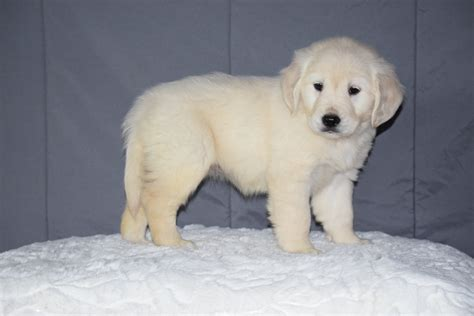 golden retriever puppies ohio rescue picture 8 of 50 golden retriever puppies adoption ohio akc registered golden