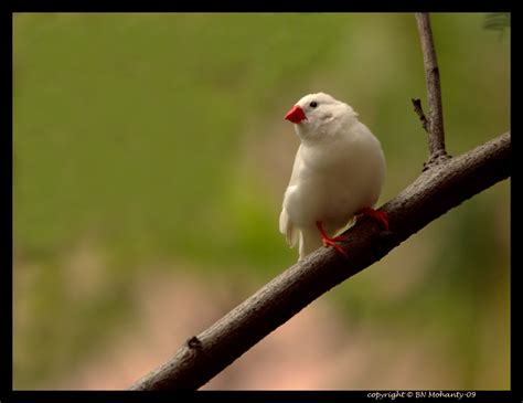zebra finch bird white