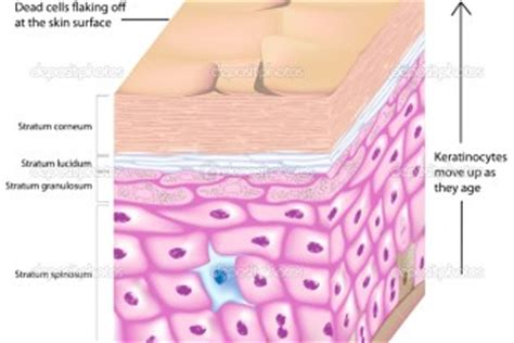 diagram of skin cell structure of the epidermis 7 skin structure anatomy