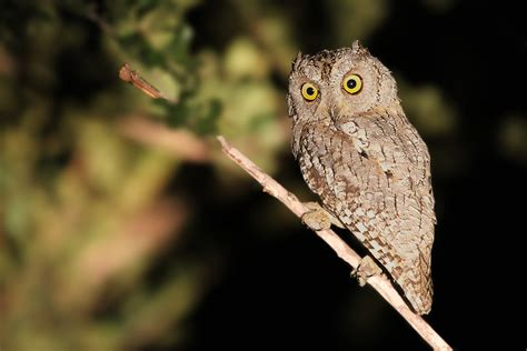 african scops owl bird wildlife photography by richard