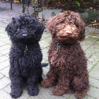 mini labradoodles wa labradoodle puppies chocolate curly m f in marysville