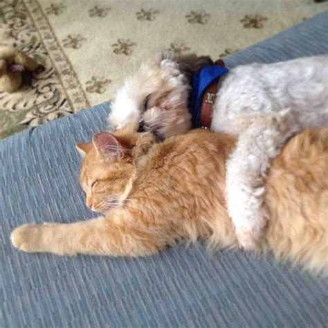 shih tzu and cats 12 reasons why shih tzus are dangerous dogs