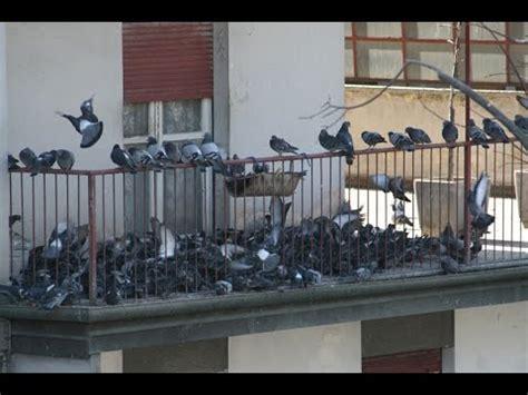 come scacciare i piccioni dal terrazzo metodo infallibile contro problema piccioni tutorial
