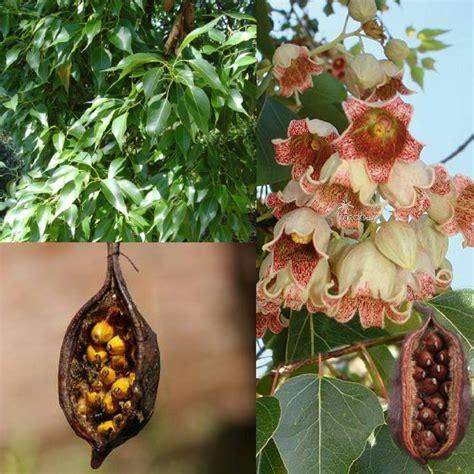 kurrajong bottle tree brachychiton populneus seeds bush