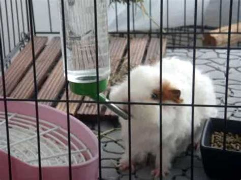 guinea pig drinking water youtube