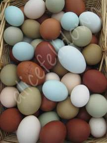 color of eggs black copper marans egg color chart search
