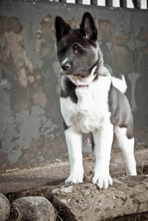 Vaccum For Pet Hair Akita Dog Breed 187 Information Pictures Amp More