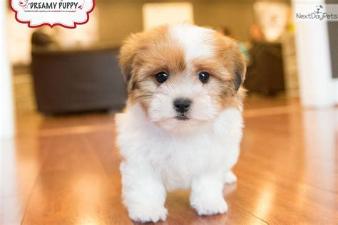 puppies for sale in washington dc shichon dogs information shichon breed info shichons puppies breeds picture