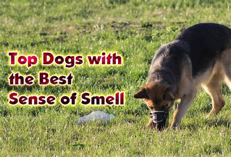 dogs sense of smell dogs with the best sense of smell did you pets