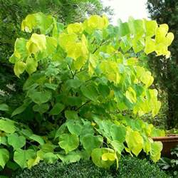 cercis canadensis hearts of gold buy eastern redbud trees