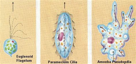 Protozoan Biology Junction