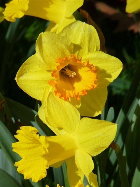 daffodil yellow narcissus daffodil yellow free stock photos in jpeg jpg 3000x4000 format for free 1 21mb
