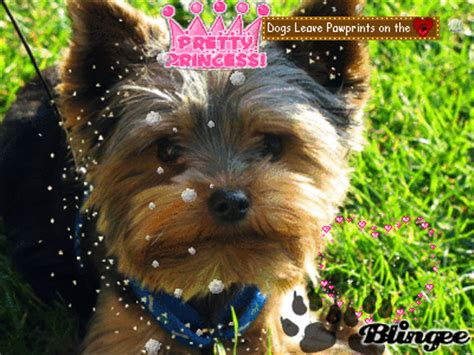 yorkie rate yorkie picture 125194049 blingee