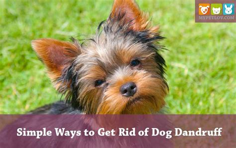 how to get rid of puppy dandruff simple but effective ways to get rid of dandruff mypetlov anatomy