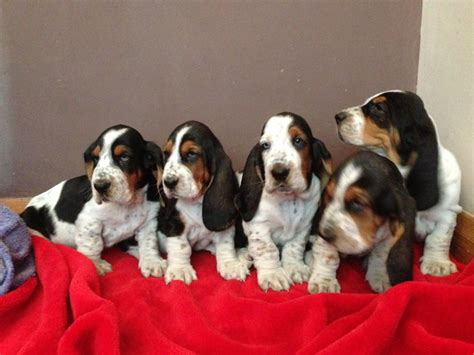 free basset hound puppies basset hound puppies barnsley south pets4homes