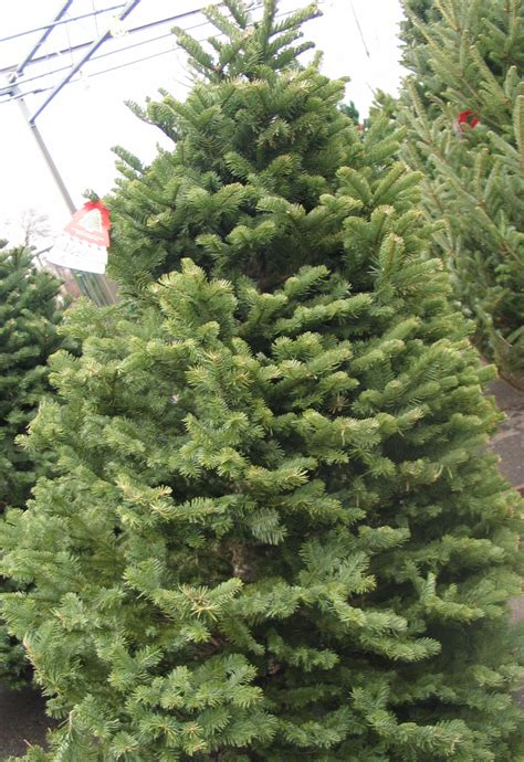 fresh cut christmas trees minneapolis st paul wagners