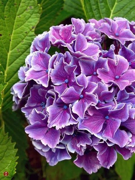 Hortensia Purple 135 best images about gorgeous flowers on