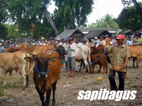 Bibit Sapi Limosin Jawa Timur pasar hewan jonggol tempat penjualan sapi qurban terbesar