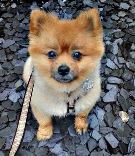 how big do teacup pomeranians grow what is the pomeranian teddy haircut quora