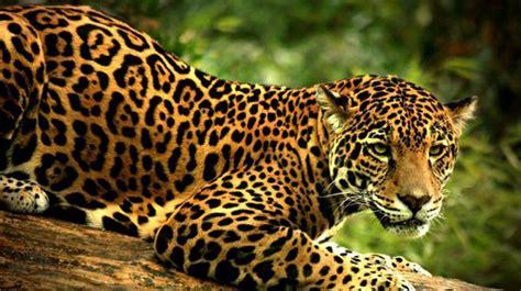 Imagenes De Animales Jaguar | jaguar otra especie en peligro de extinci 243 n el expreso