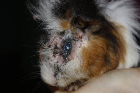 cavy s guinea pig rescue