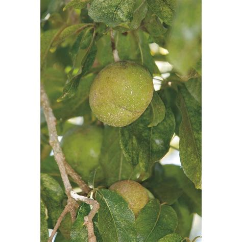 fruit trees at lowes shop 3 4 gallon suebelle sapote tree lw01368 at lowes