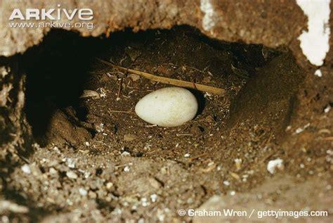 puffin eggs