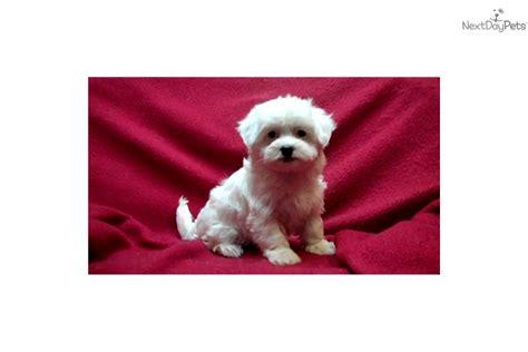 maltipoo puppies for sale in michigan malti poo maltipoo puppy for sale near arbor michigan d514b004 81b1