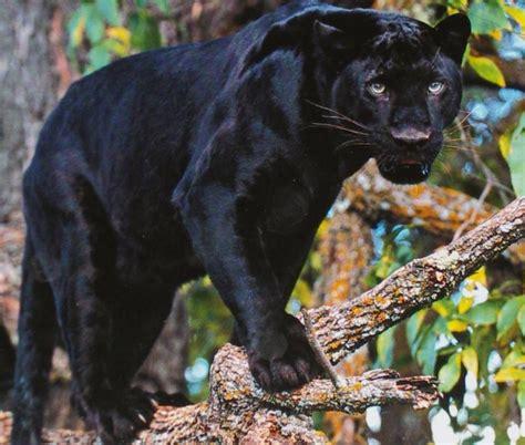 imagenes de ojos de jaguar las mejores fotos de leopardos im 225 genes de leopardos