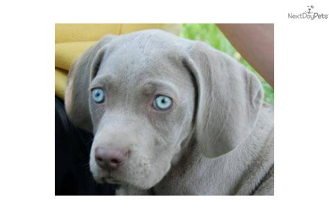 dogs for sale in indiana weimaraner puppy for sale near muncie indiana 84ddcfd7 b641