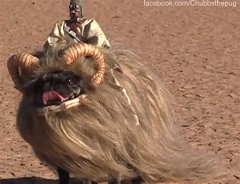 pugs in wars costumes 16 best pugs in costume images on dogs doggies and fluffy pets