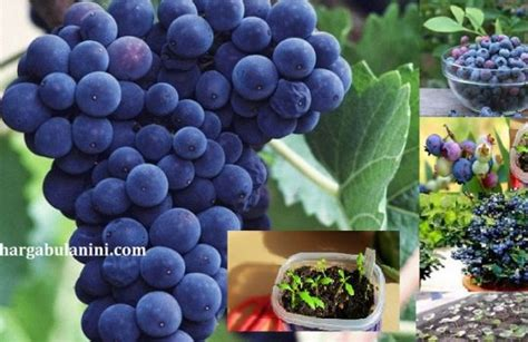 Bibit Blueberry harga bibit blueberry terbaru februari 2019