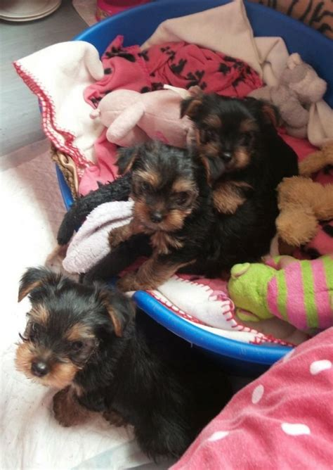 teacup yorkie for sale 300 dollars teacup chihuahuas for sale for 100 dollars for sale united states pets 1