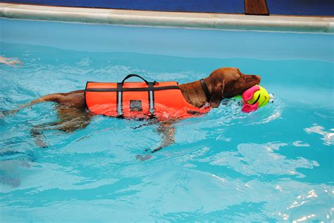 do all dogs how to swim doggie paddles 187 swimming lessons for pups s
