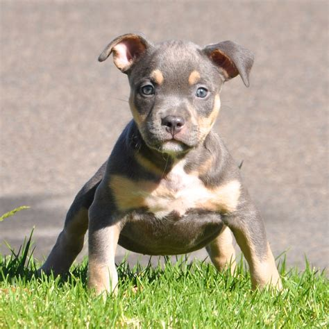 tri color pitbulls tri color pitbulls bully history
