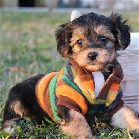 largest yorkie 17 best images about yorkie poo on yorkie and berries
