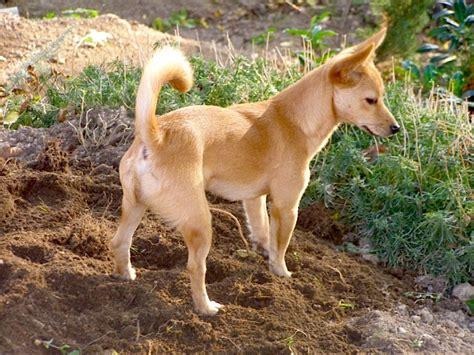 Breed Profile: Portuguese Podengo Pequeno   Petful