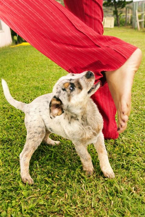 how to stop puppy nipping puppy biting and nipping nipping and where to find help breeds picture