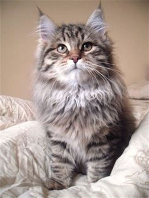 Siberian Cats Shedding by Hypoallergenic Cats On Siberian Cat Maine