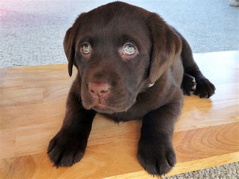 lab puppies for adoption in nj chocolate brown labrador retriever puppies for sale breeds picture